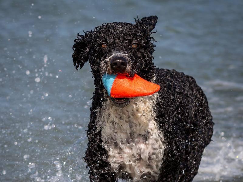 Wie sein Name es vermuten lässt: Das Wasser ist das Spezialgebiet des Spanischen Wasserhundes – Bild: Shutterstock / Daz Brown Photography