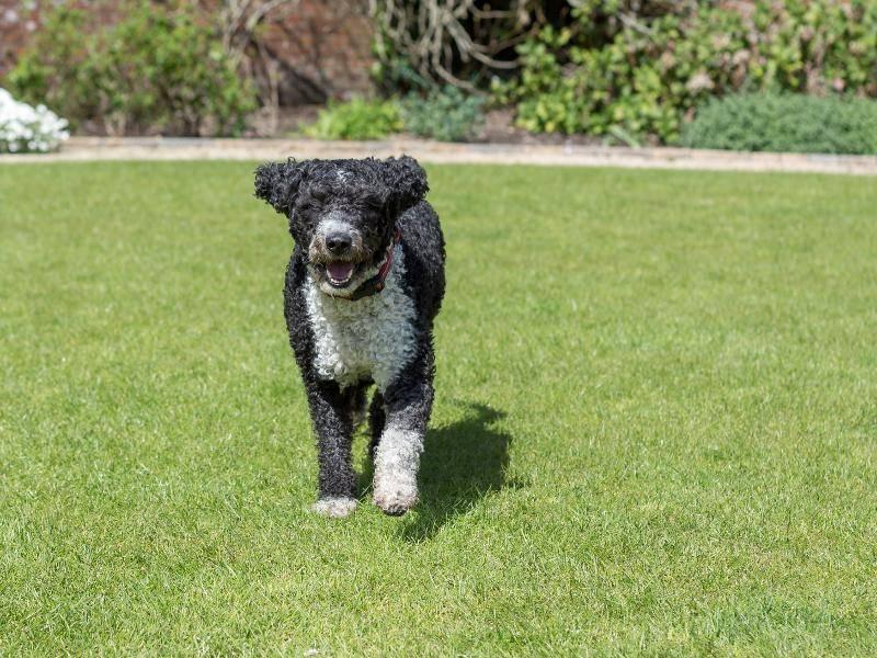 Sportlich und ausdauernd wie er ist, ist der Spanische Wasserhund ein leidenschaftlicher Renner – Bild: Shutterstock / Daz Brown Photography