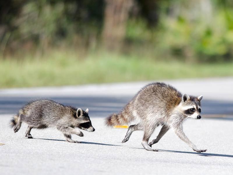 Dieser kleine Kerl folgt zur Sicherheit seiner Mama – Bild: Shutterstock / David Spates