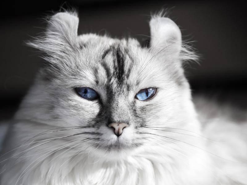 Auch die Farben variieren stark bei der American Curl Cat – Bild: Shutterstock / Eugene Sergeev
