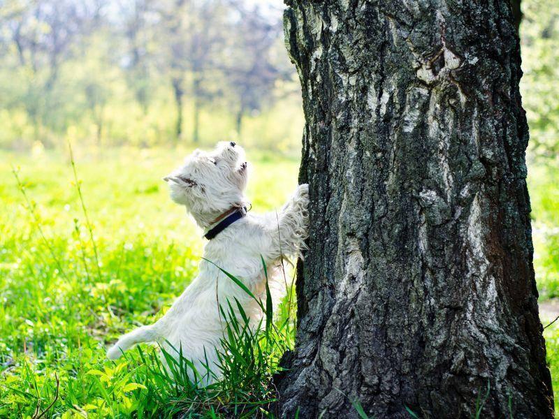 Als Westie einen Baum hochklettern? Schwierig! – Bild: Shutterstock / Be Good