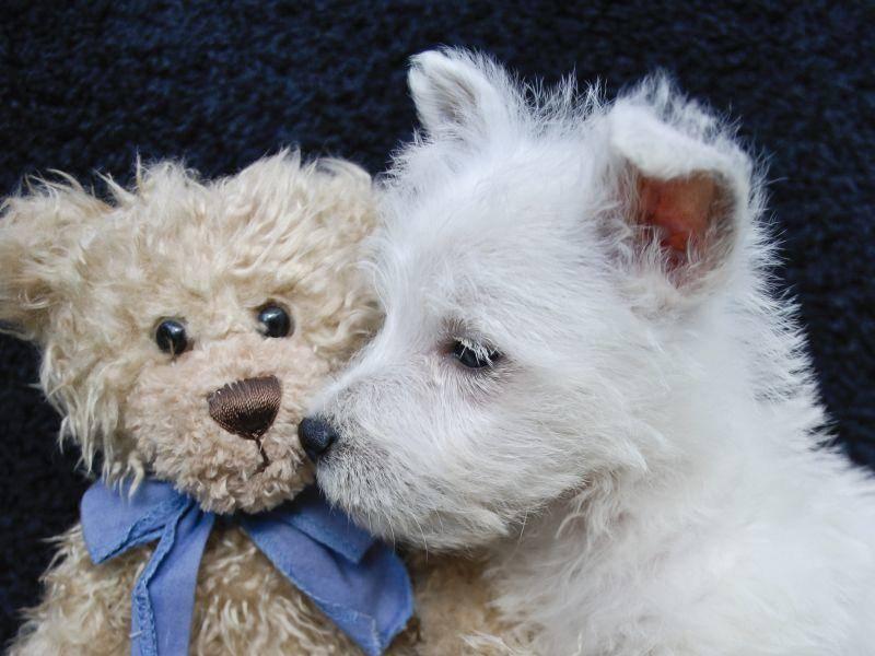 Dieser Westie kuschelt gerne mit seinem Teddy – Bild: Shutterstock / JStaley401