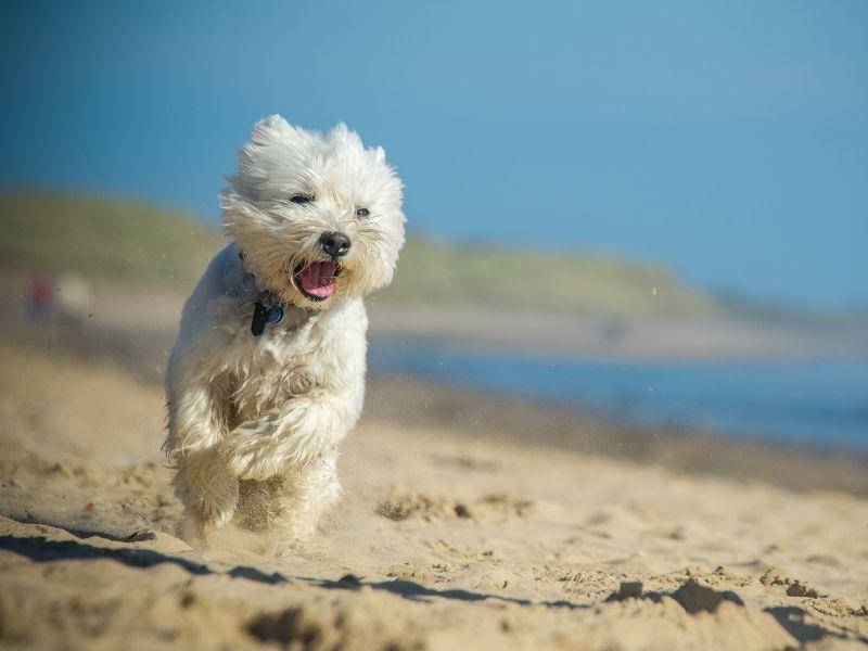 Laufen macht aktiven Hunden wie Westies Spaß – Bild: Shutterstock / rebeccaashworth