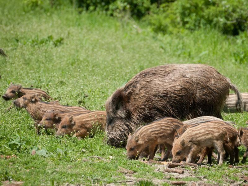 Wildschweinchen zur Essenszeit – Bild: Shutterstock / Zorandim