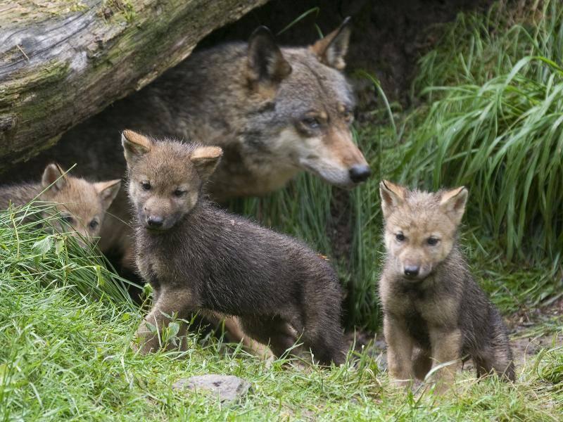 Babywölfchen erkunden die Welt – Bild: Shutterstock / A.von Dueren