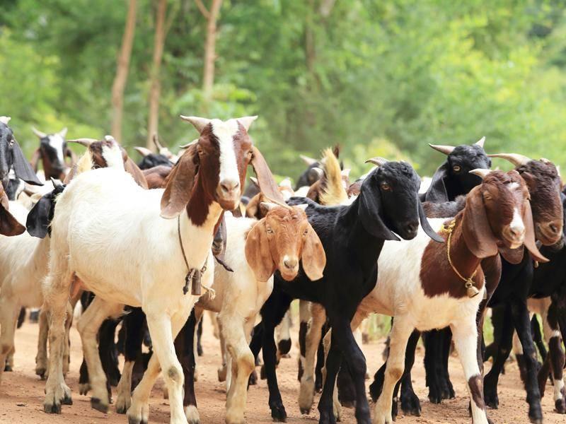 Wohin diese Herde wohl auf dem Weg ist? – Bild: Shutterstock / Rissy Story