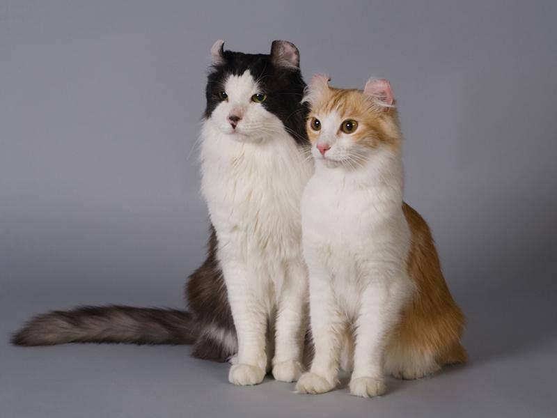 Die Katzenrasse gilt trotz ihrer zum Teil langen Haare als pflegeleicht – Bild: Shutterstock / Vasiliy Khimenko