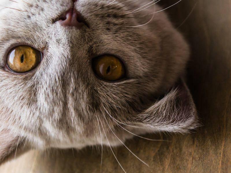 Schönes Fell und schöne Augen: Diese Katze ist besonders hübsch – Bild: Shutterstock / Ekaterina Barantceva