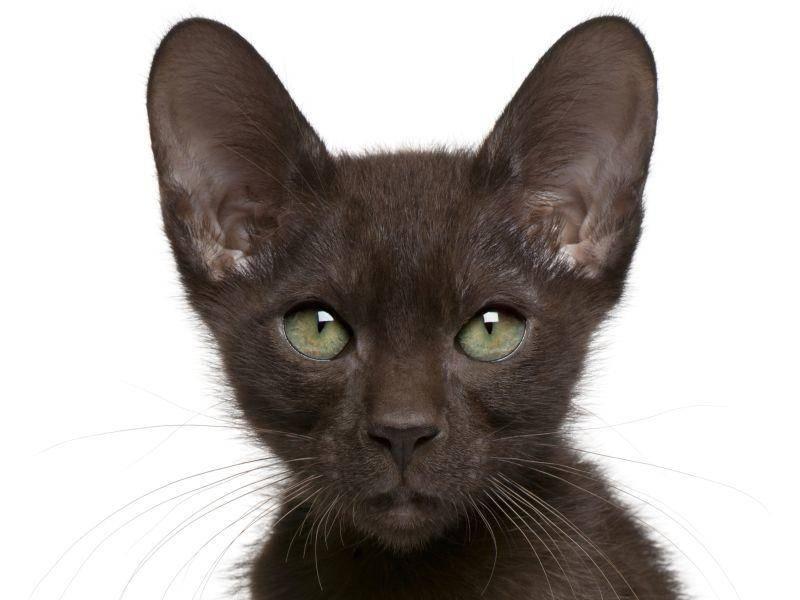 Und noch eine braune Havana-Katze – Bild: Shutterstock / Eric Isselee