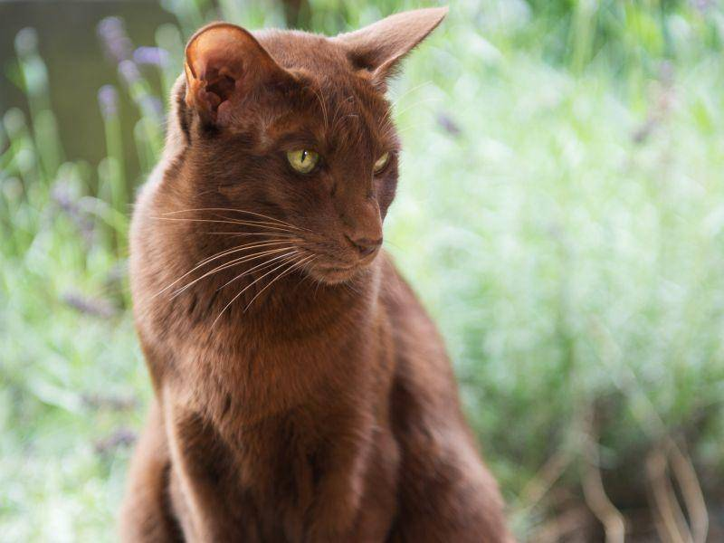 Faszinierend und mysteriös: Eine braune Havana-Katze – Bild: Shutterstock / Ivonne Wierink