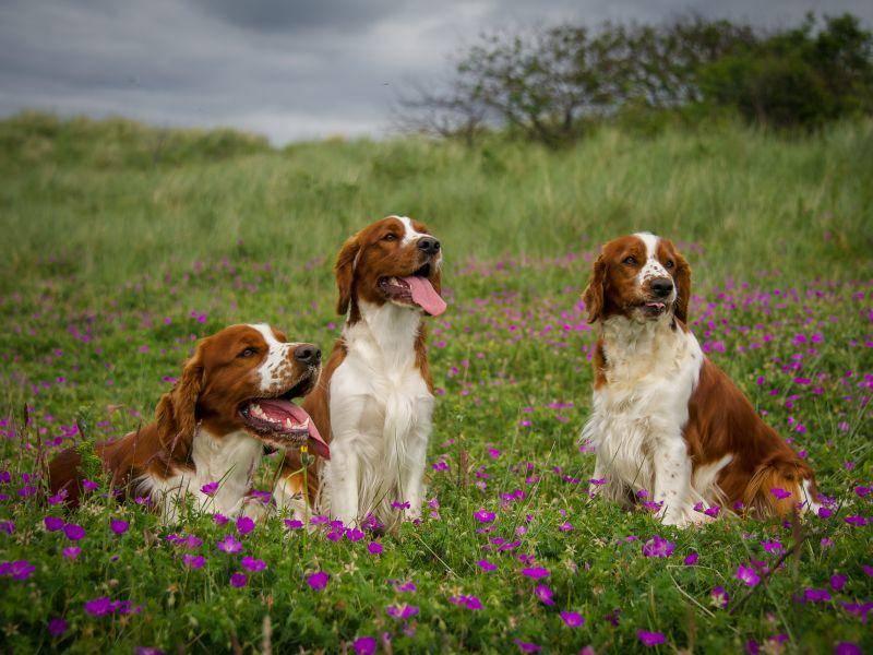Gesellig und verträglich: Der Welsh Springer Spaniel – Bild: Shutterstock / rebeccaashworth