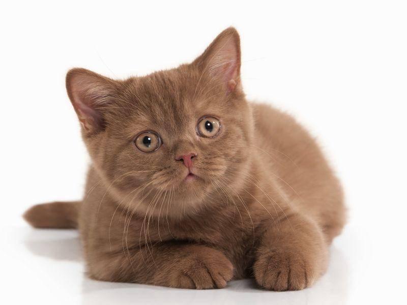 Bei Britisch-Kurzhaar-Katzen sieht man die braune Farbe öfter – Bild: Shutterstock / dien