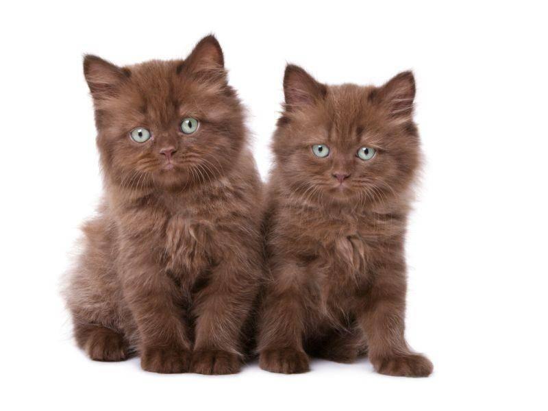 Wie süß: Zwei schokobraune Katzengeschwister – Bild: Shutterstock / Rumo