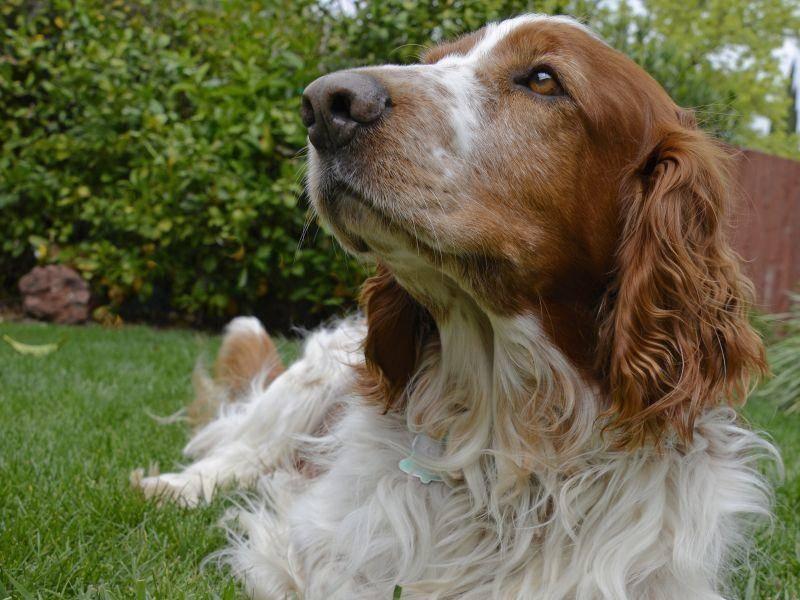 Mit seinem treuen Blick und dem langen Fell ist der Welsh Springer Spaniel ein schöner Hund – Bild: Shutterstock / Lois McCleary