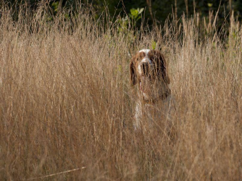 Auch als Jagdhund kann der Welsh Springer Spaniel eingesetzt werden – Bild: Shutterstock / Jody1