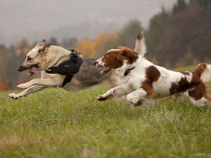 Wettrennen? Da ist der bewegungsfreudige Welsh Springer Spaniel dabei – Bild: Shutterstock / Jody1