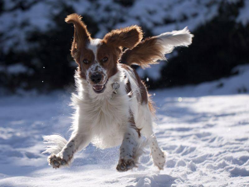 """Bahn frei, hier komm ich!!!"" Süßer Welsh Springer Spaniel in Fahrt – Bild: Shutterstock / Jody1"