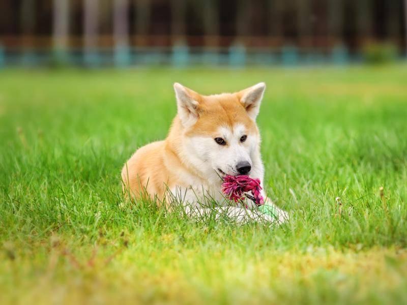 Außerdem spielen Vertreter dieser Hunderasse leidenschaftlich gern – Bild: Shutterstock / Anna Tyurina