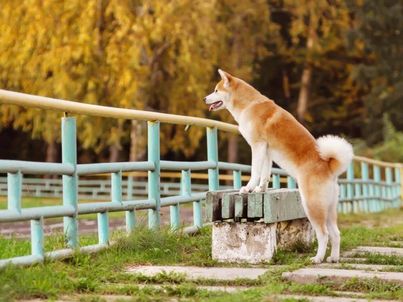 Hübsch und charakteristisch: Die helle, rot-braune Farbe des Akita-Fells – Bild: Shutterstock / Anna Tyurina