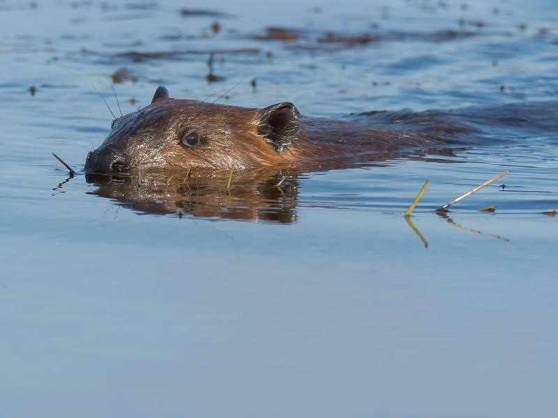 Die Lebensräume von Bibern sind Gewässer und Uferbereiche – Bild: Shutterstock / Paul Reeves Photography