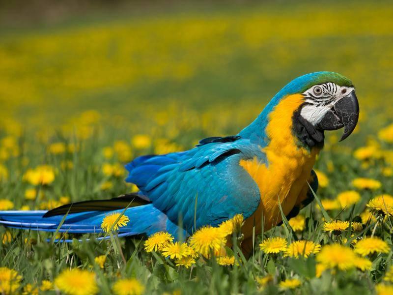 Die Brust dieser Papageienart fällt durch ihre goldgelbe Färbung auf – Bild: Shutterstock / Vera Zinkova