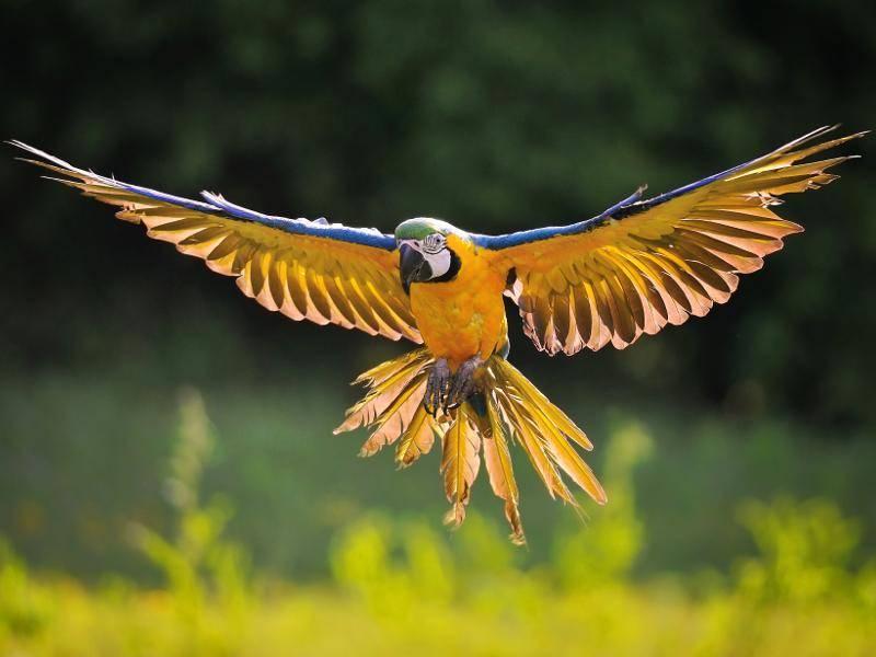 Der Gelbbrustara kann eine Länge von circa 90 Zentimetern erreichen – Bild: Shutterstock / Stanislav Duben