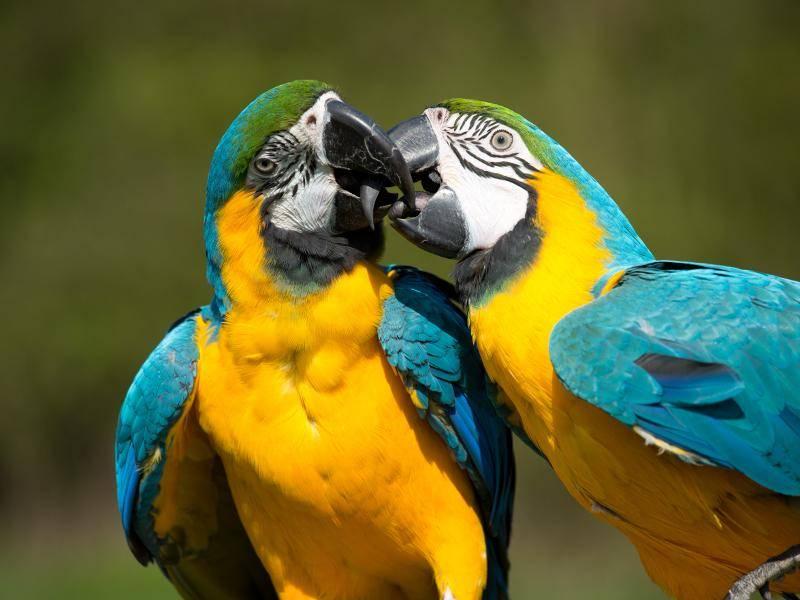 Gelbbrustaras sind meist in Paaren unterwegs – Bild: Shutterstock / Vera Zinkova