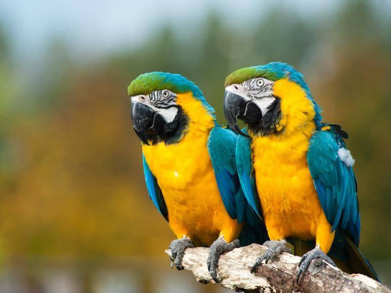 Die Aussicht genießen Gelbbrustaras lieber in Gesellschaft – Bild: Shutterstock / Eric Gevaert