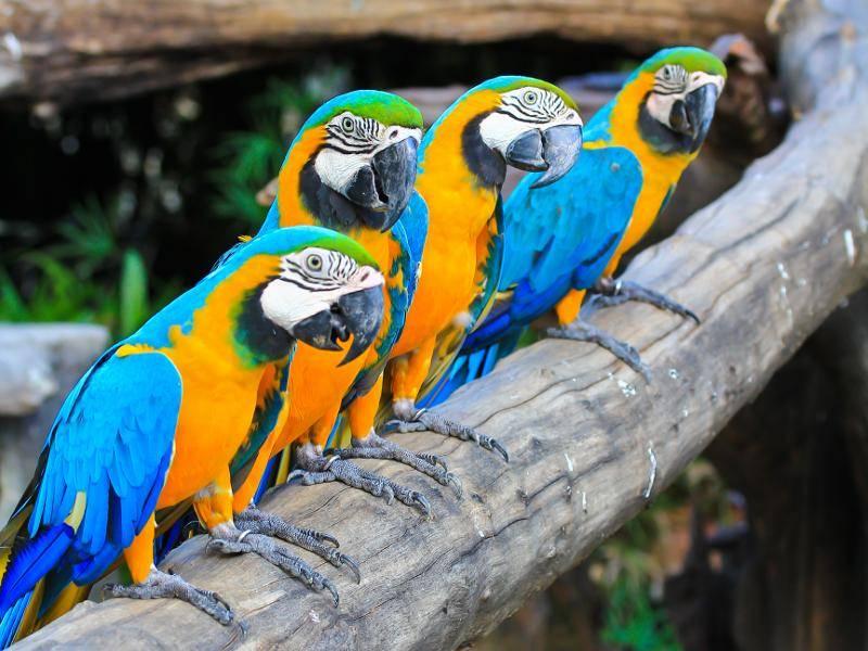 Auch in Gruppen sind die gelb-blauen Vögel anzutreffen – Bild: Shutterstock / apiguide