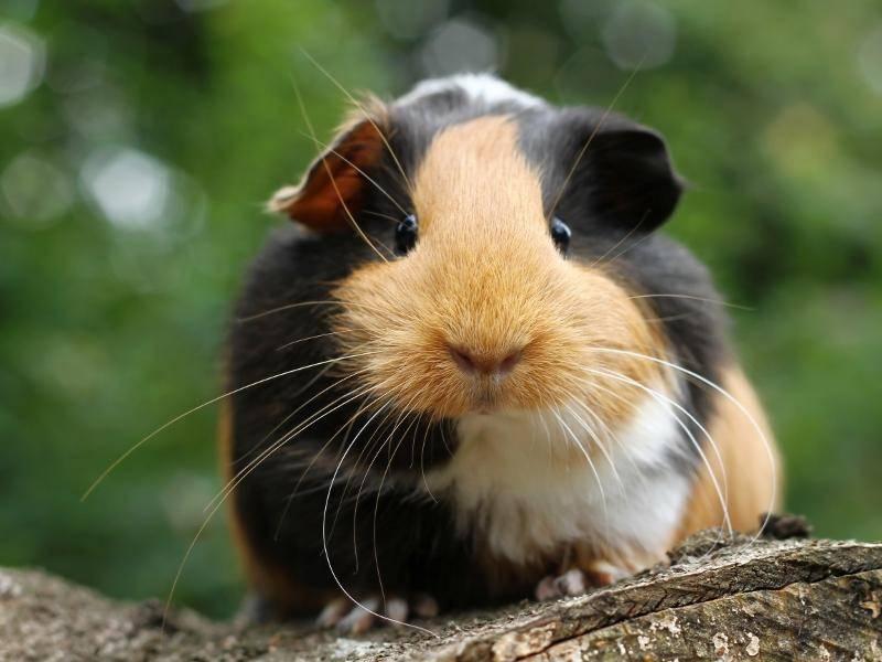Glatthaarmeerschweinchen gehören zur Art der Hausmeerschweinchen – Bild: Shutterstock / Miroslav Hlavko