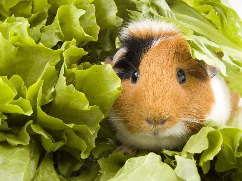 Glatthaarmeerschweinchen essen sehr gern Salat – Bild: Shutterstock / RamonaS
