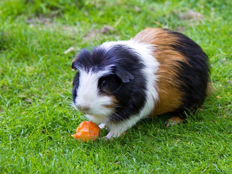Und auch Karotten mögen die süßen Tierchen sehr – Bild: Shutterstock / evastudio