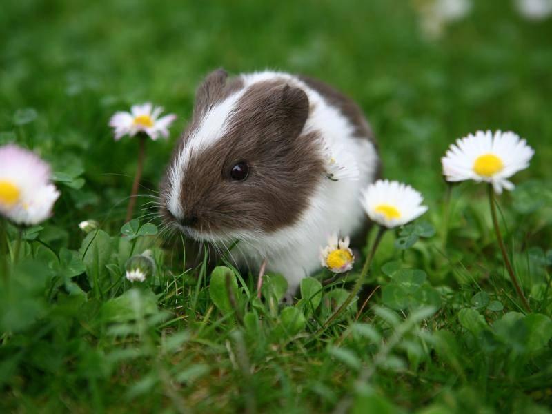 Als Babys sehen die Glatthaarmeerschweinchen auch soooo süß aus – Bild: Shutterstock / Gordana Sermek