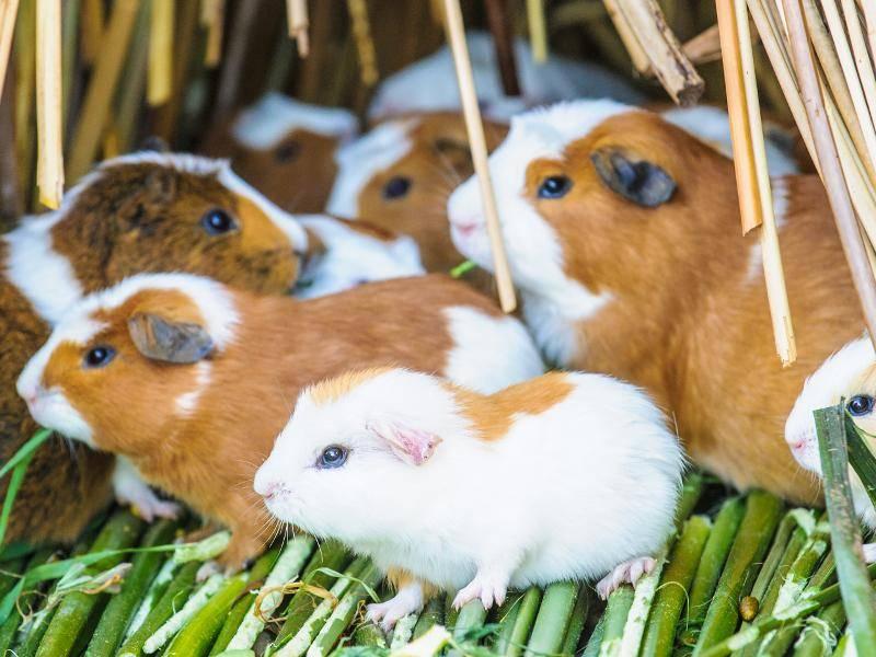 Die Glatthaarmeerschweinchen leben ungern allein – Bild: Shutterstock /Anton_Ivanov