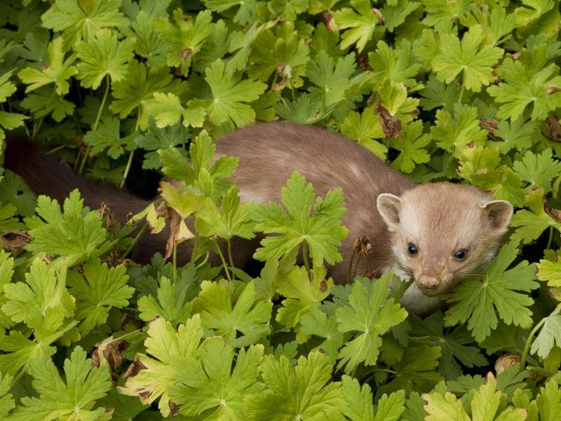 Sie ernähren sich beispielsweise von Beeren und Pflanzenteilen – Bild: Shutterstock / Ingrid Deelen