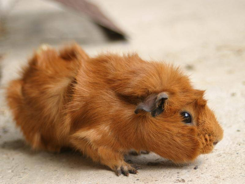 Rosetten-Meerschweinchen auf Erkundungstour – Bild: Shutterstock / No:veau