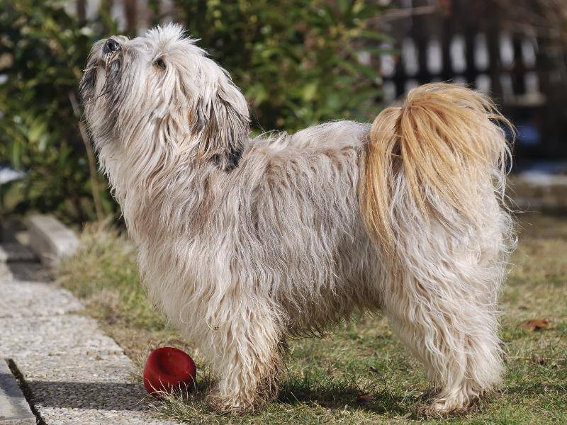 Geduldig und kinderlieb: Der Tibet-Terrier passt einfach wunderbar in Familien – Bild: Shutterstock / manfredxy