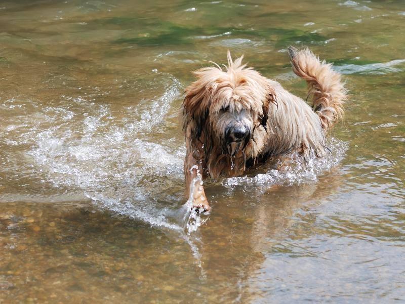 Auch wenn Tibet-Terrier eher selten im Wasser zu sehen sind: Manchmal tut eine Abkühlung gut! – Bild: Shutterstock / manfredxy