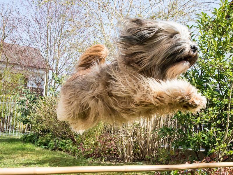 Der flinke Hund braucht viel Auslauf und Abwechslung – Bild: Shutterstock / manfredxy