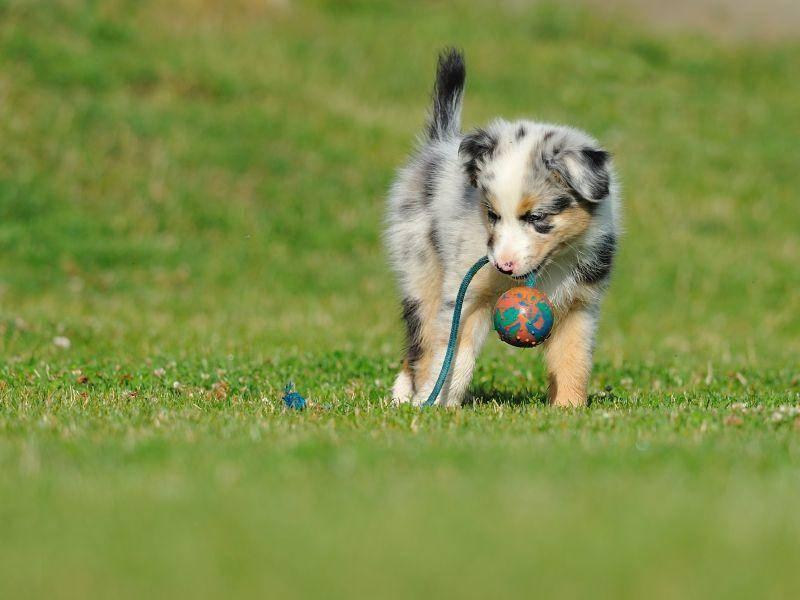 Viel Spaß beim Spielen, kleiner Australian Shepherd – Bild: Shutterstock / Stanislav Duben