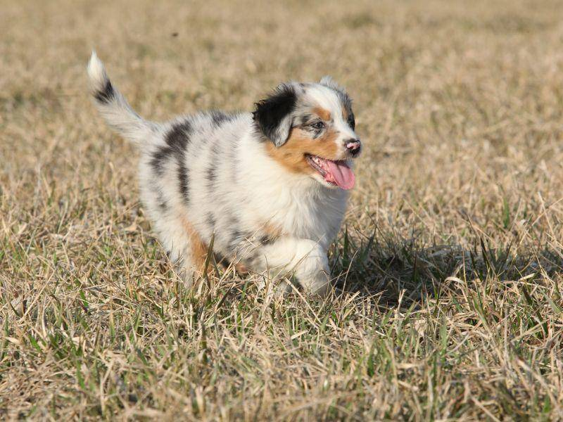 Dreifarbiger Australian-Shepherd-Welpe macht Tempo – Bild: Shutterstock / Zuzule