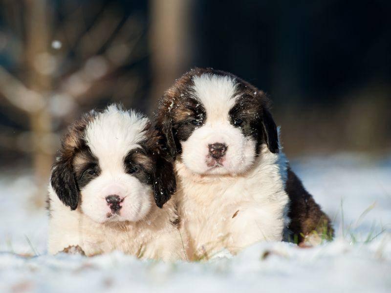 """""""Ein bisschen kalt ist das ja schon"""", denken sich diese Bernhardinerwelpen wohl: Dann lieber schnell wieder ins warme Haus! – Bild: Shutterstock / Rita Kochmarjova"""