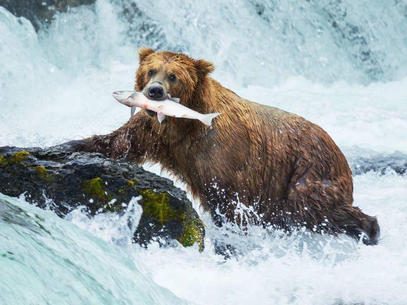 Der Braunbär verlässt im Winter zwar zum Futtern seine Höhle ... – Bild: Shutterstock / Galyna Andrushko