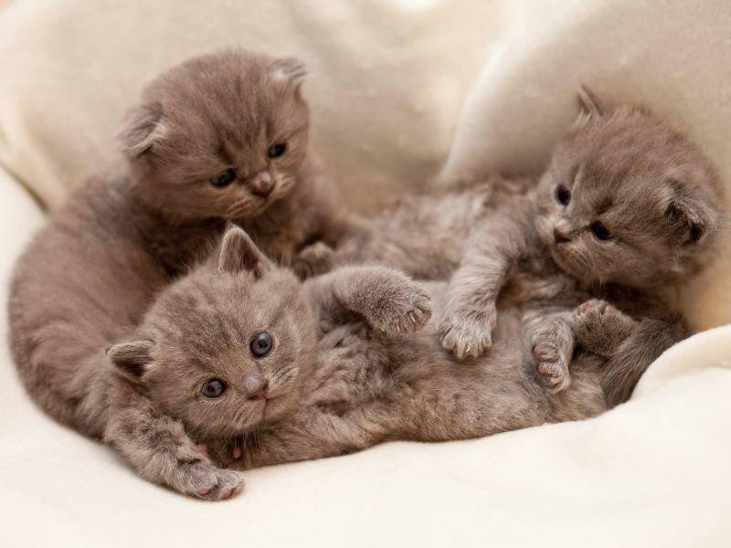 Es gibt nämlich Scottish-Fold-Katzen mit hängenden und welche mit normalen Ohren – Bild: Shutterstock / Zhiltsov Alexandr
