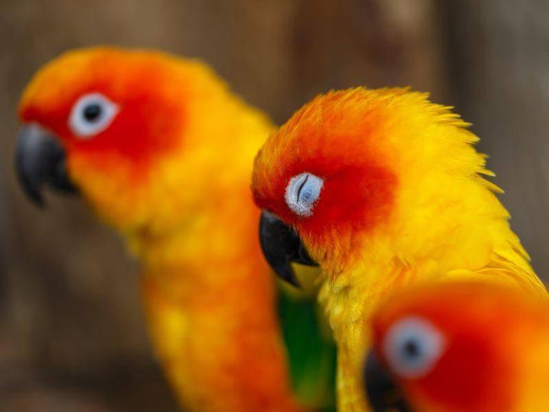 Tolle Farben sind bei Unzertrennlichen an der Tagesordnung – Bild: Shutterstock / PearlNecklace