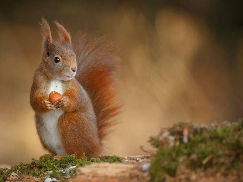 Das Eichhörnchen legt sich im Herbst einen Futtervorrat an – Bild: Shutterstock / Neil Burton