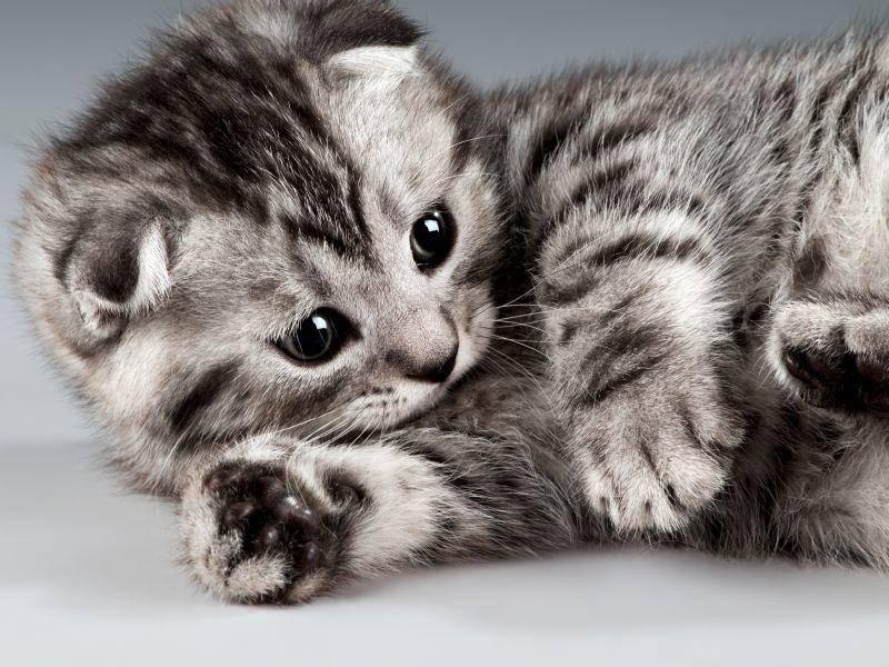 Und das letzte Scottish-Fold-Kätzchen in unsere Runde: Wie süß! – Bild: Shutterstock / tankist276
