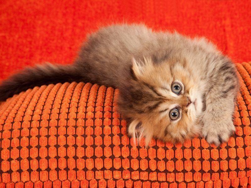 Perserkätzchen in Spiellaune – wer spielt mit? – Bild: Shutterstock / Linn Currie