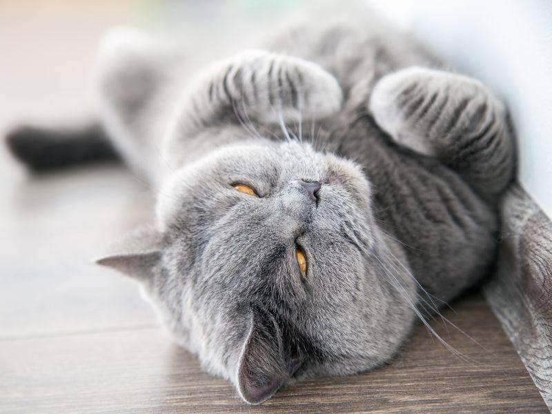 Die Britisch Kurzhaar ist eine kräftige und gleichzeitig sehr elegante Katze – Bild: Shutterstock / Anna Lurye