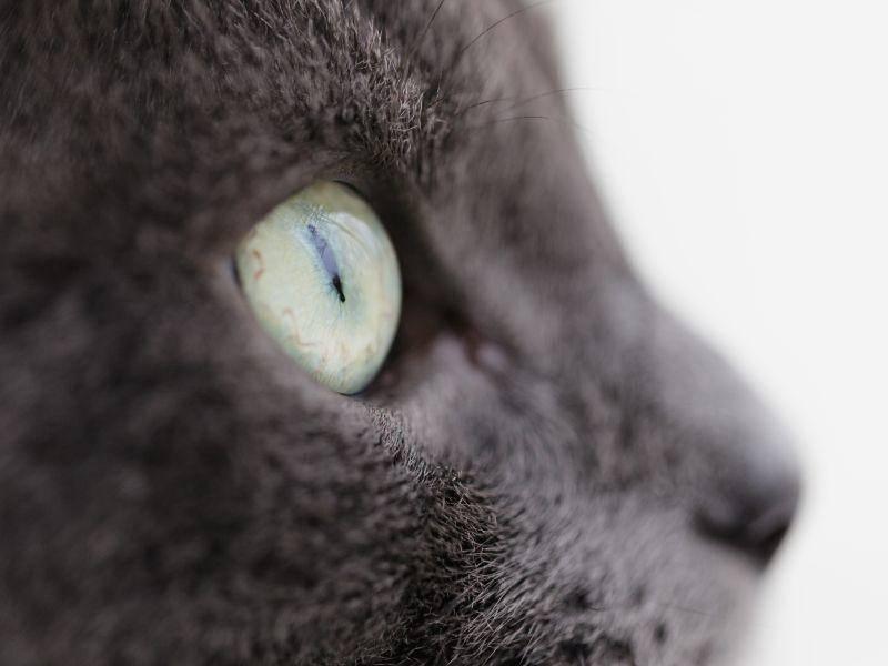 Die leuchtenden Augen bilden einen schönen Kontrast zum grauen Fell – Bild: Shutterstock / VladislavGudovskiy